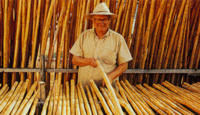 Selection of the best cane